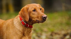 Red Fox Labradors - Full Dog Breed Information by Pawsandfurs.com